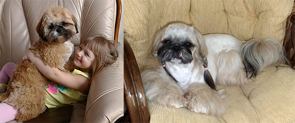 shihtzu_different_gold